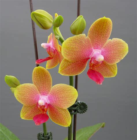 miniature moth orchids orchidaceous orchid blog