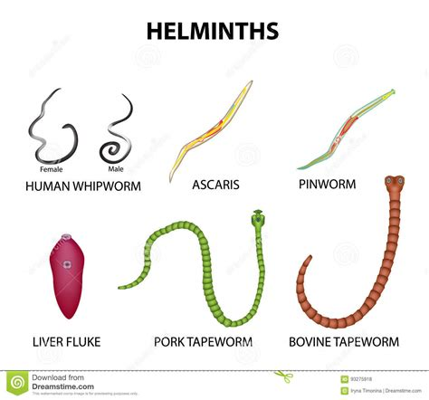 Diagram Of Tapeworm Liver Fluke Earthworm Hydra With Labelling 10092557 Meritnation A Set Of Helminths Roundworm Ascaris Pinworms Bovine Tapeworm Pork Tapeworm Whipworm