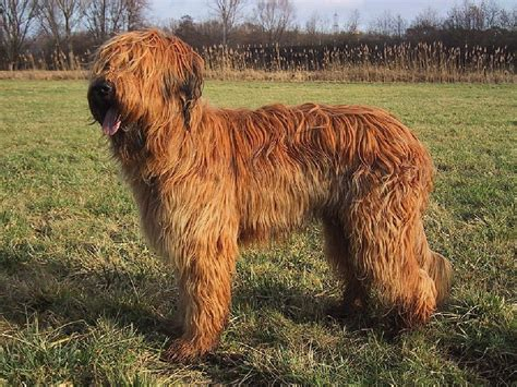 briard breed briard breed guide learn about the briard