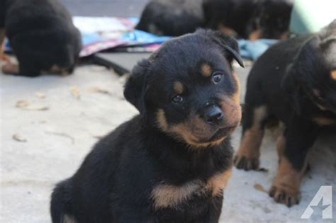 akc rottweiler puppies for sale akc rottweiler puppies for sale in gladewater classified americanlisted
