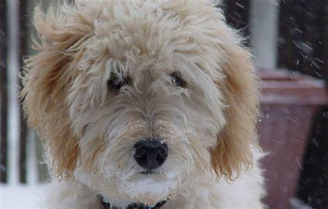 goldendoodle puppy names 10 best goldendoodle names