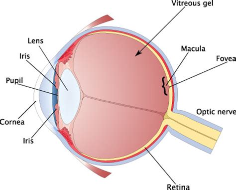 eye diagram how the eye works the will to see