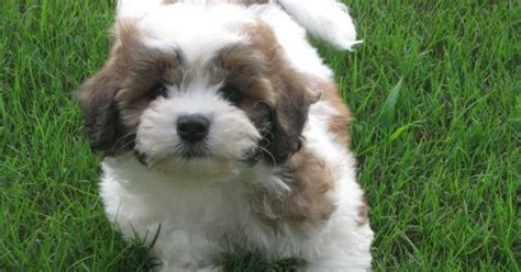 shih tzu st bernard mix zuchon teddy puppy teddy zuchon puppies dogs bichon shih tzu mix