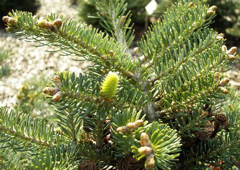 pflanzen kaufen koniferen 016 schneiden pflanzen kaufen pflege abies