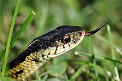 ways   rid  snakes   garden gardentipzcom