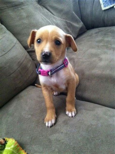 chihuahua yorkie beagle mix 67 best pocket dogs images on animals puppies and puppies