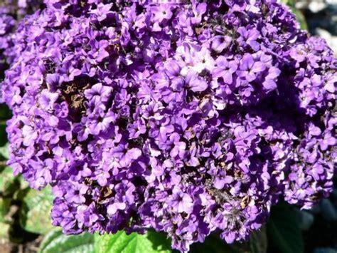 cespuglio fiori viola foto gratis fiori viola cespuglio