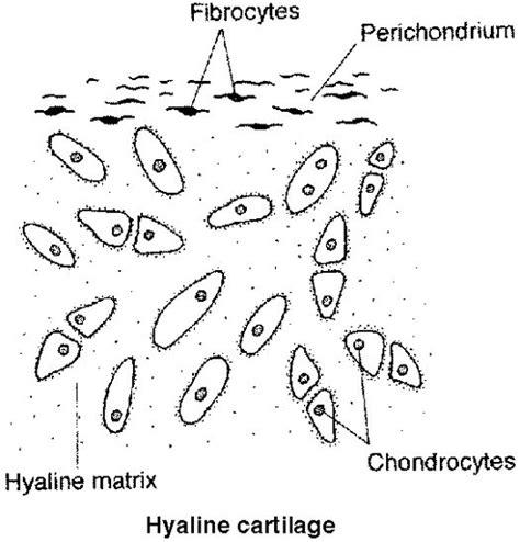 cartilage diagram cartilage types a hyaline cartilage cartilage system