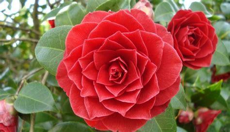 imágenes de rosas raras as flores mais raras do mundo fotos noticia alternativa