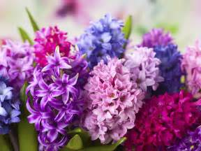 Traditional House Magazine how to grow hyacinths saga
