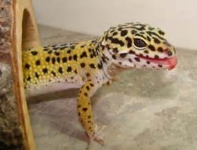 leopard geckos in the wild the natural history of a popular pet