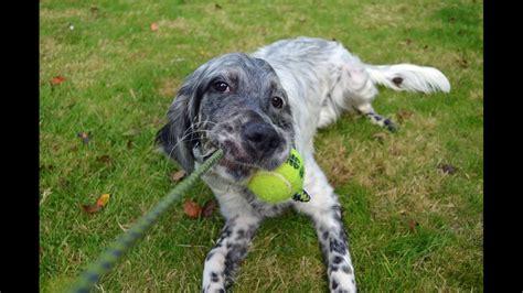 english setter dog training daisy english setter 3 weeks residential dog training