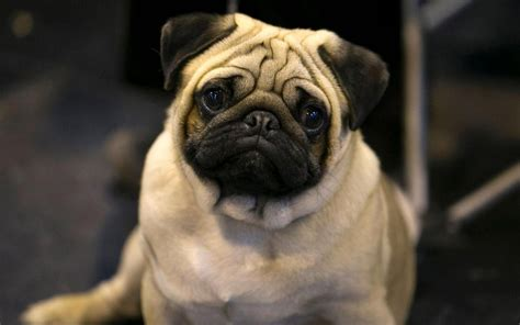 pug care and should pugs and bulldogs be banned it might be the only way to stop the suffering