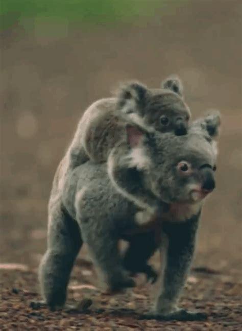imagenes animadas koala koala pics tumblr