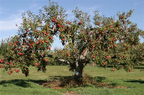 apple tree with fruits how to prune an apple tree the garden of eaden