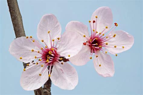 imagenes flores de cerezo flowers quot significado de la flor de cerezo sakura