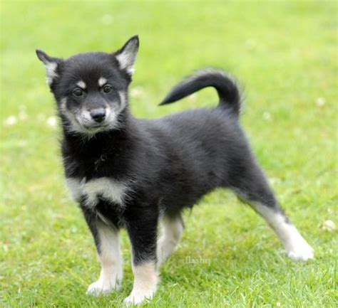 pomsky puppies for sale in mi home spca of sw michigan spca of southwest michigan autos post