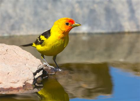the western tanager duncraft