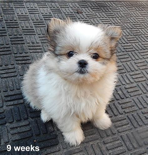 pomeranian mix with shih tzu shih tzu pomeranian mix puppies 324 for shih tzu pomeranian mix breeds picture