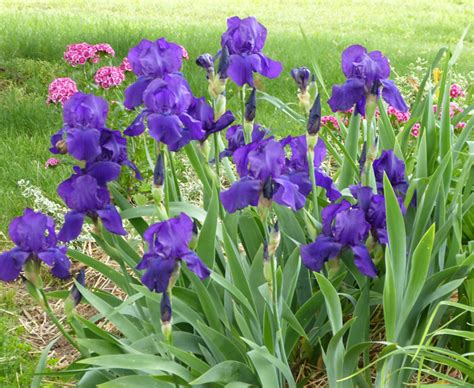 Bed Of Roses Meaning How To Use Iris In Your Flower Borders And Keep The