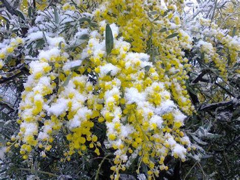 fiore neve frore in su nie fiore nella neve la canzone