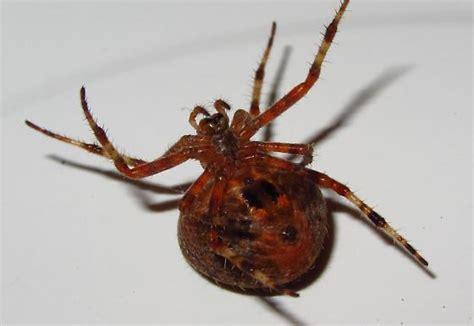 christmas tree spider araneus gemma bugguide net