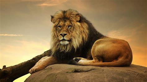 imagenes 4k wallpaper animales male lion 4k resolution desktop wallpaper animals