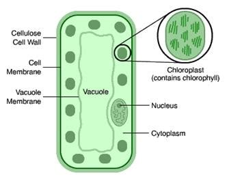 leaf palisade cell diagram image gallery mesophyll diagram