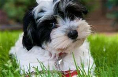 best havanese breeders in nj 1097 best havanese photos images on friends havanese puppies and doggies