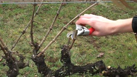 spur pruning grapevines mp4 youtube