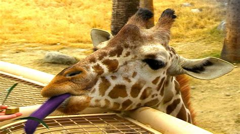 what color are giraffes why do giraffes purple tongues