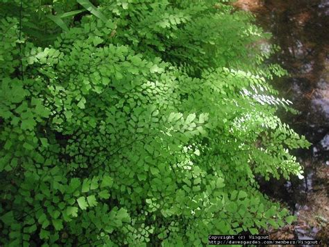plantfiles pictures southern maidenhair fern common maidenhair fern venus hairfern venus s