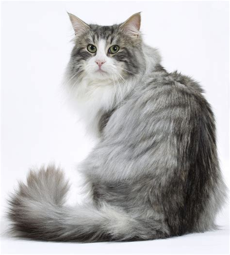 6 Most Beautiful Grey Cat Breeds That You Will Like