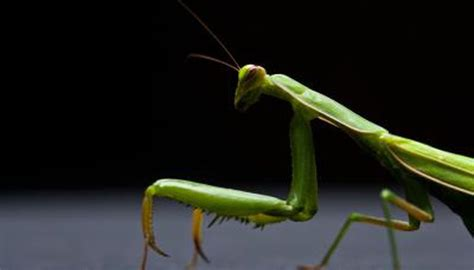 praying mantis change color what are the stages of the praying mantis cycle