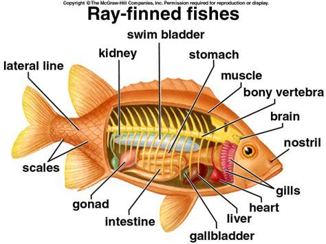 Bony Fish External Anatomy Nivoteamfo