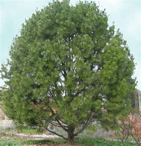 pine lacebark tree