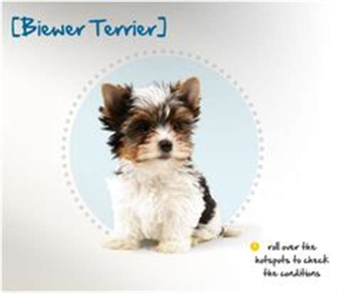 yorkie color variations 1000 ideas about terrier haircut on yorkie terriers