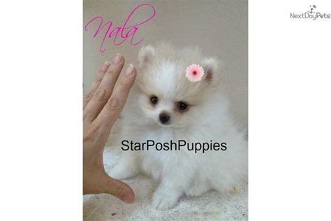 teacup pomeranian puppies for sale in arizona pomeranian puppy for sale near arizona f50c9072 2f41