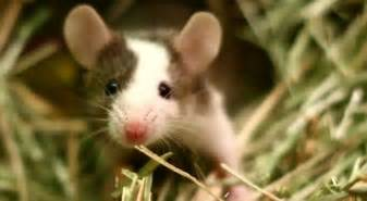 mice as pets things you need to know to keep pet mice i