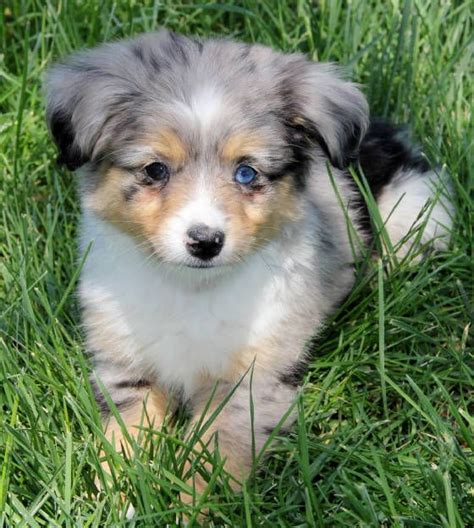 australian shepherd puppies for sale nj 17 best ideas about aussie puppies for sale on mini aussie for sale