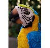 Flame Macaw Pics
