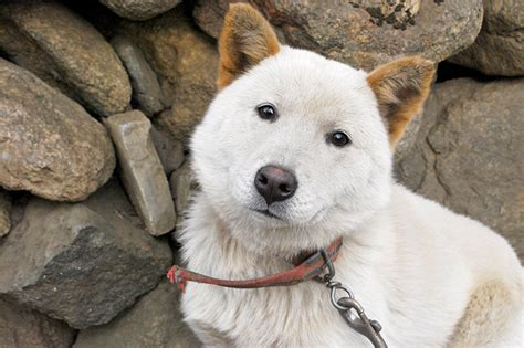 jindo puppies korean jindo breed information pictures