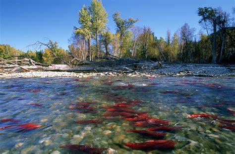 Salmon Shower Curtain Spawning Sockeye Salmon Adams River Photograph By David Nunuk