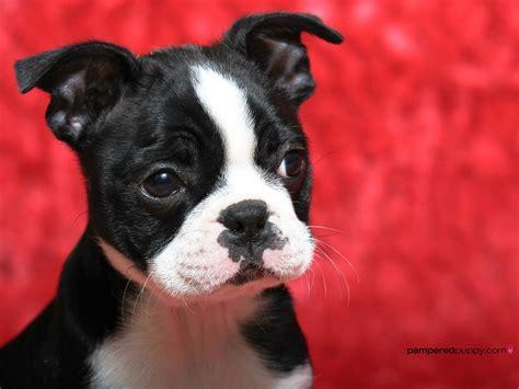 puppy adoption boston boston terrier rescue florida