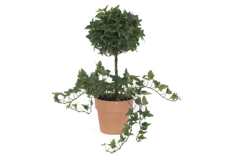 topiaries for sale live images
