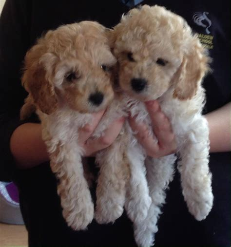 poodle for sale 1 poodle for sale carlisle cumbria pets4homes