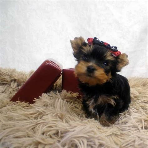 small yorkie puppies for sale small breed puppies available terrier for sale breeds picture
