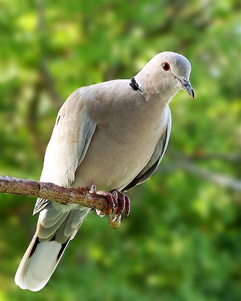 grey dove with black ring around neck eurasian collared dove birdforum opus