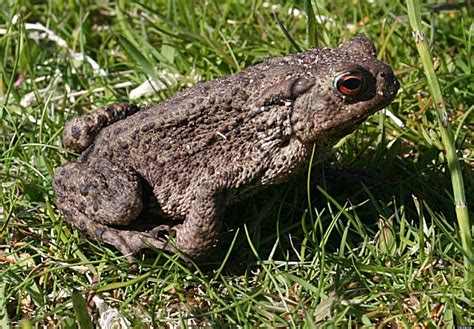 are toads poisonous to dogs toxic bufo toad kills in florida poses danger to other animals huffpost