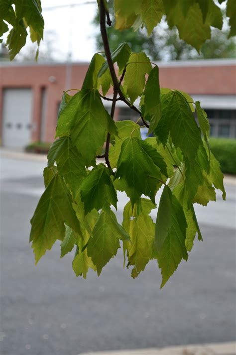 maple tree droopy leaves wit s end arrested development why does jcp l trees